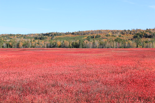Blueberry Fields in the Fall | by Faceyman