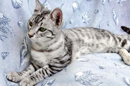 Anubis, bellezón de gato cruce con Mau Egipcio muy activo, nacido en Mayo´17, en adopción. Valencia. ADOPTADO. 38092655451_3052d1b0b7