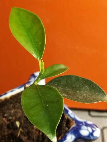 Ficus Retusa mame cutting, new growth 10.10.2017 | by tinogrönstrand