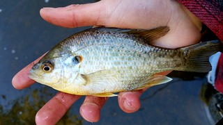 Redear Sunfish | by Isaac's Fishing Corner