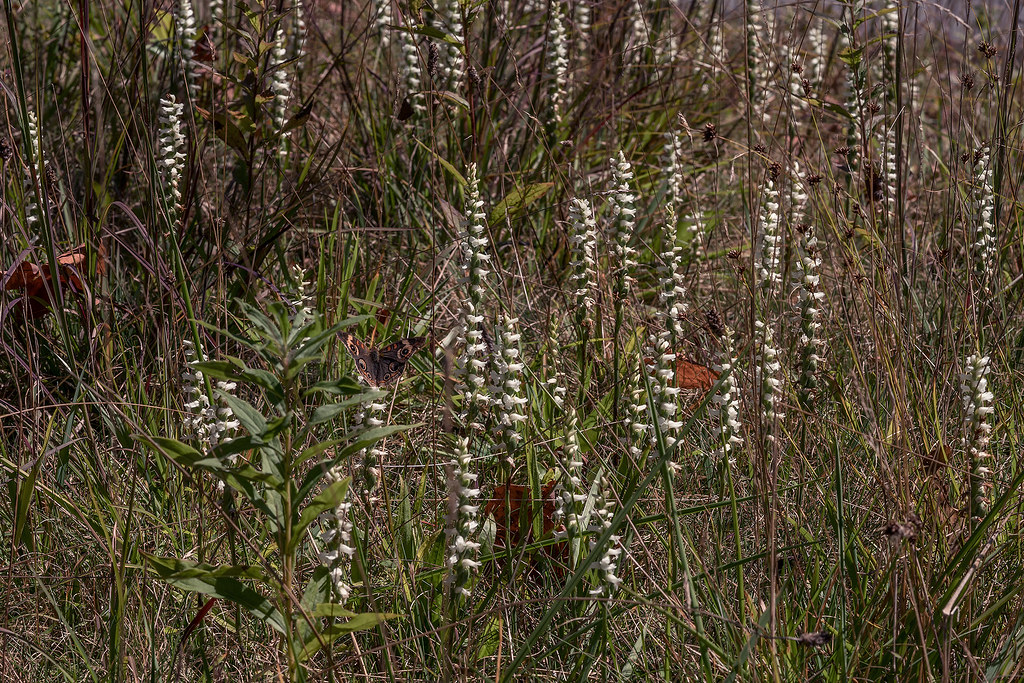 Nodding Ladies'-tresses in parking area