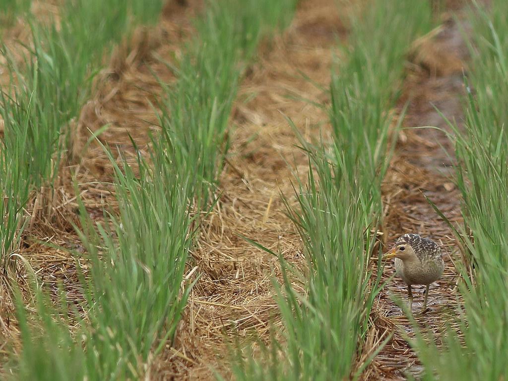 新南水鳥:董雞。圖片來源:林哲安