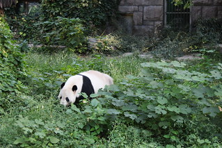 Giant panda in the Beijing Zoo | by Timon91