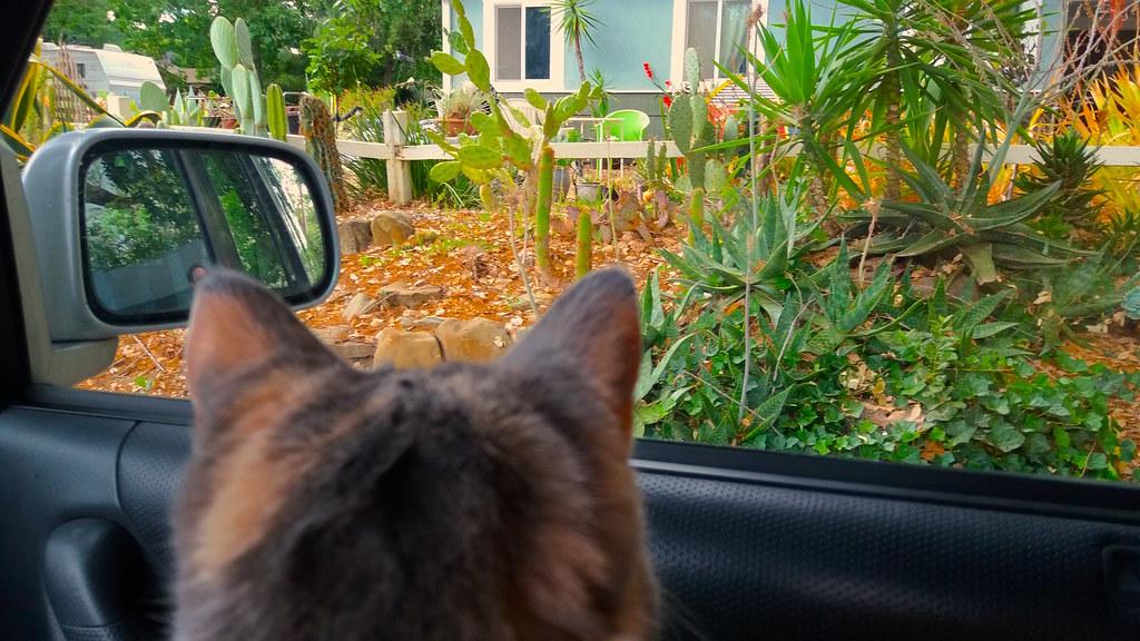 kissan matkapahoinvointi | kissa katsoo ulos auton ikkunasta.