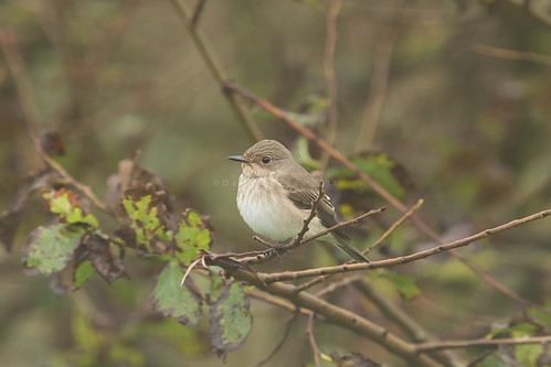 Spotted Flycatcher (Muscicapa striata) Land's End, Cornwall. September 2017. | by DaveMorgan1975