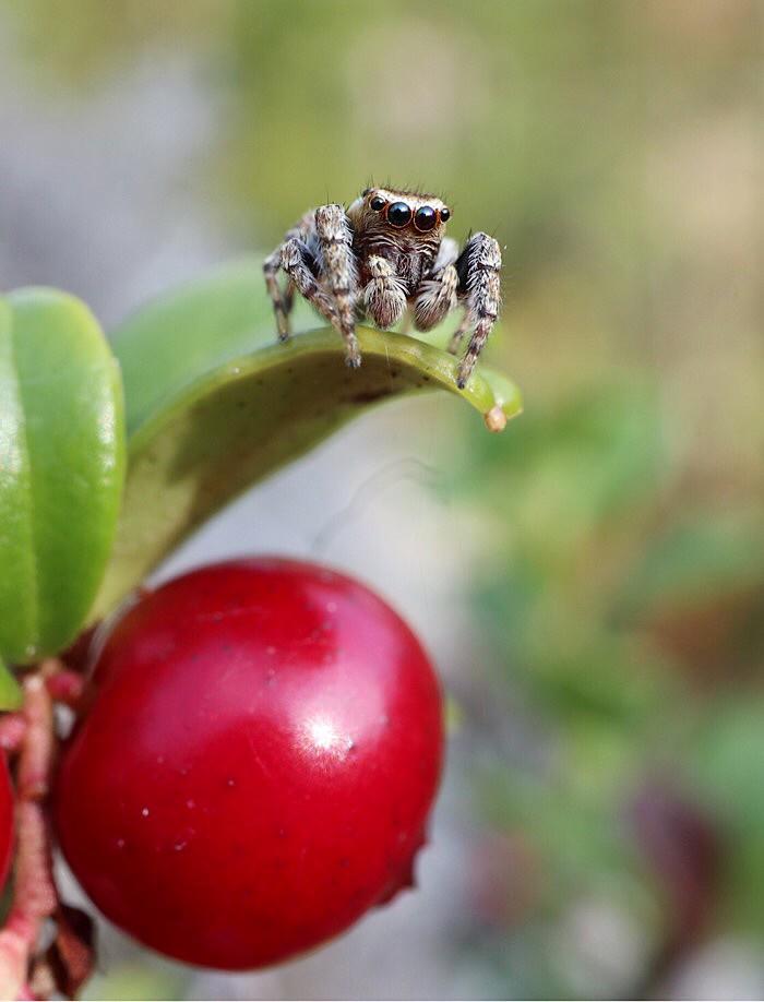 Söpö pörröinen hämähäkki