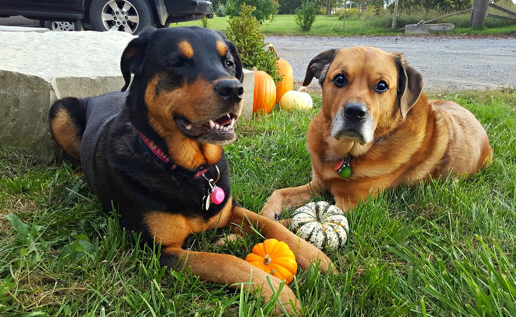 thanksgiving pumpkin rottweiler mastiff