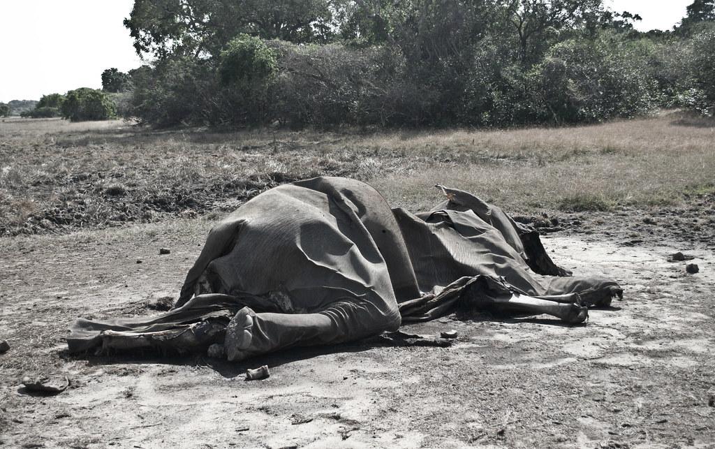 民眾在國家公園內拍攝到的因「hakka patas」陷阱而死亡的大象。圖片來源:Shanaka Aravinda。