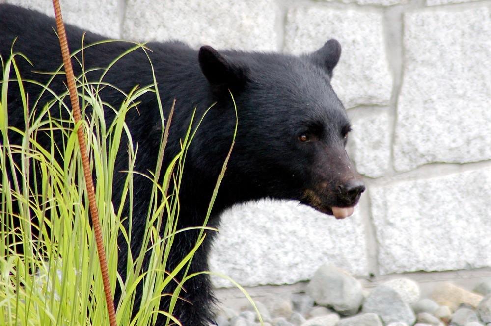 黑熊。圖片來源:wplynn。