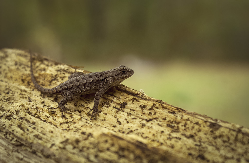 Baby Eastern Fence Lizard My Father Unknowingly Brought Th Flickr