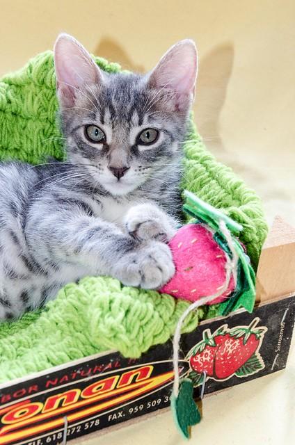 Benny, gatito Azul Ruso Tabby muy guapo y bueno, nacido en Julio´17, en adopción. Valencia. ADOPTADO. 36571595663_98a19891bf_z