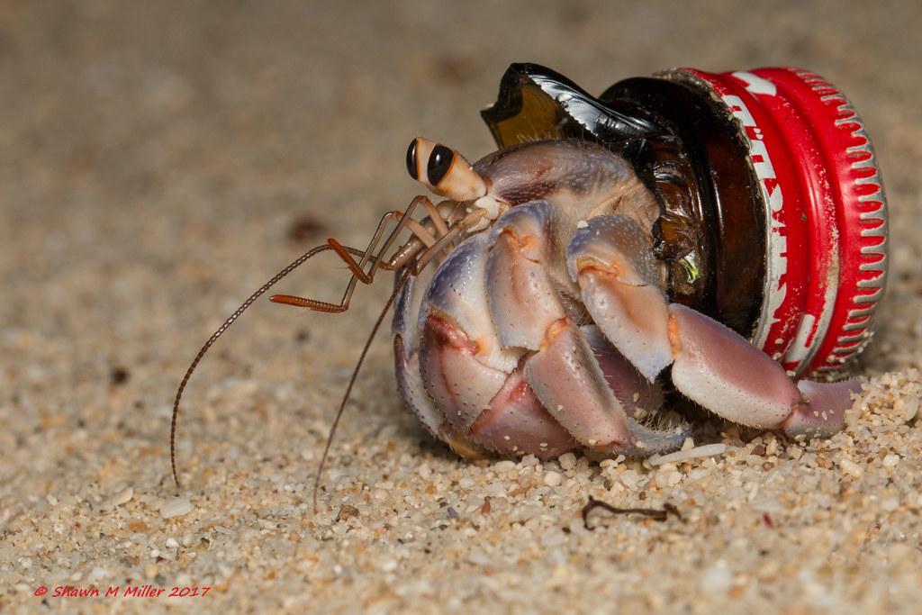 Crabs With Beach Trash Homes Ryukyu Islands Blueberry
