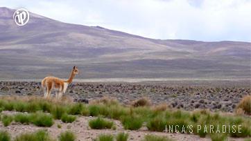 La vicuña del Altiplano
