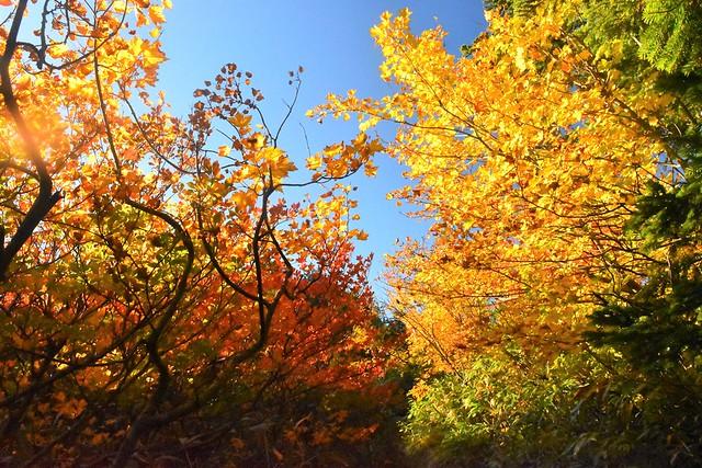 苗場山の紅葉