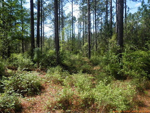 Loblolly and longleaf pine forests abound on the Altamaha River-Sansavilla Forest