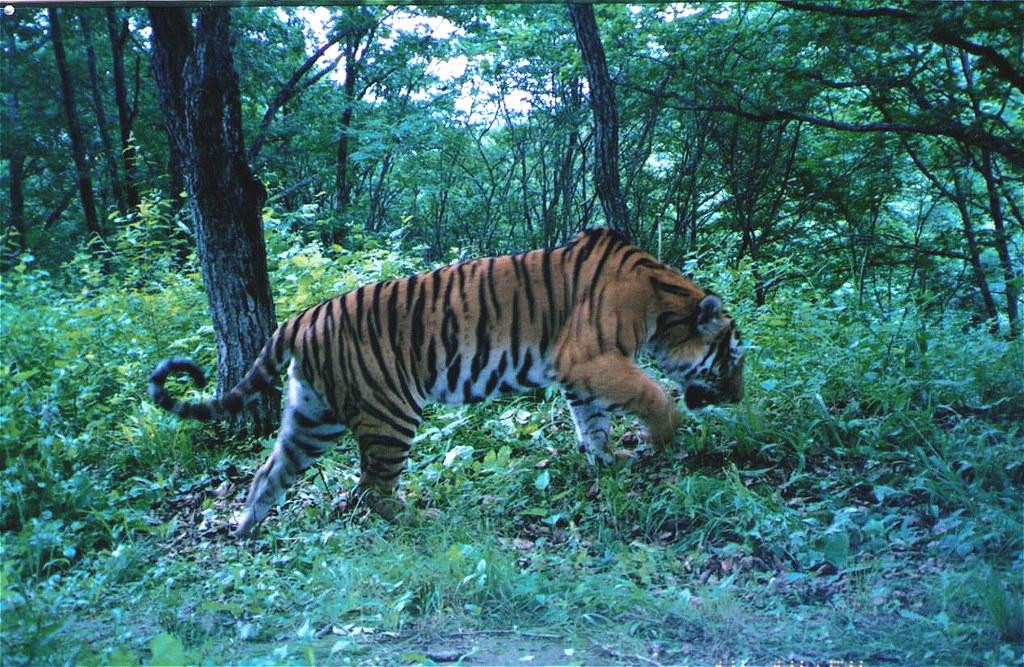 北京師範大學虎豹研究團隊拍攝到的中國境內第一張自然狀態下的野生東北虎照片。圖片版權所有者為北京師範大學,由馮利民提供。