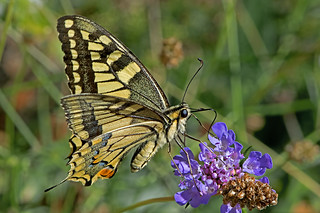 Papilio machaon - the Swallowtail | by BugsAlive