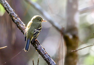 Acadian Flycatcher | by backyardzoo