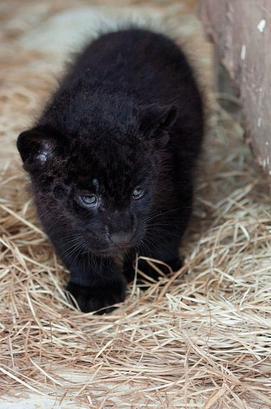 Baby panther cubs - photo#43