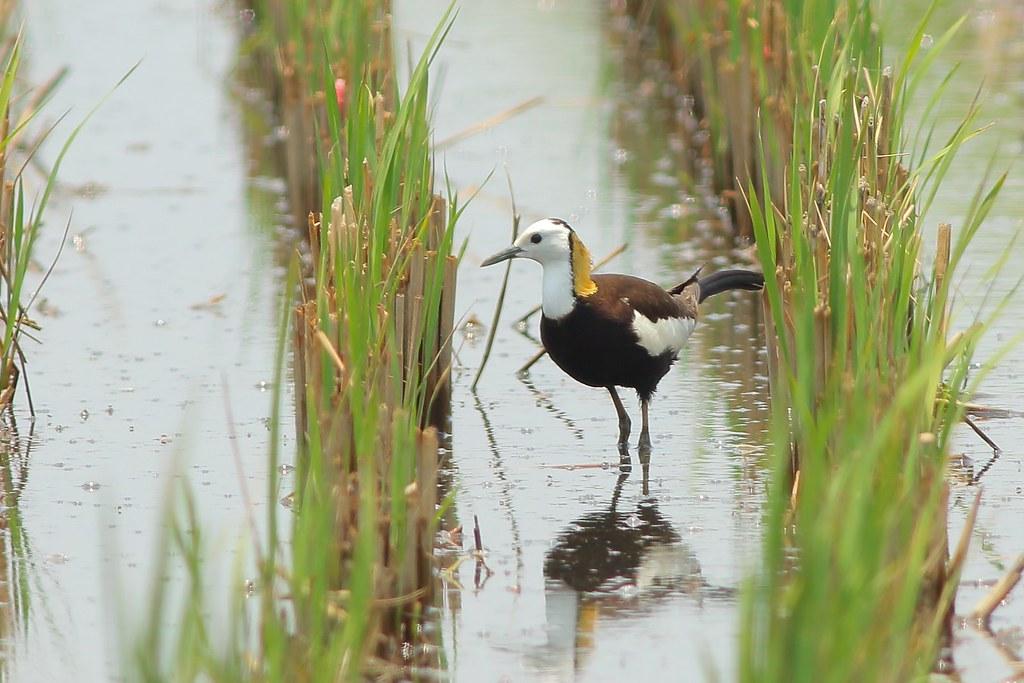 新南水鳥:隱身其間的嬌客—水雉。圖片來源:林哲安
