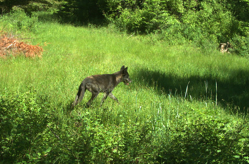 20170625 nem odfw a wolf from the north emily group of for Oregon department of fish and wildlife jobs