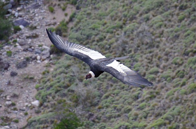 Condor in flight, Coyhaique, Chile