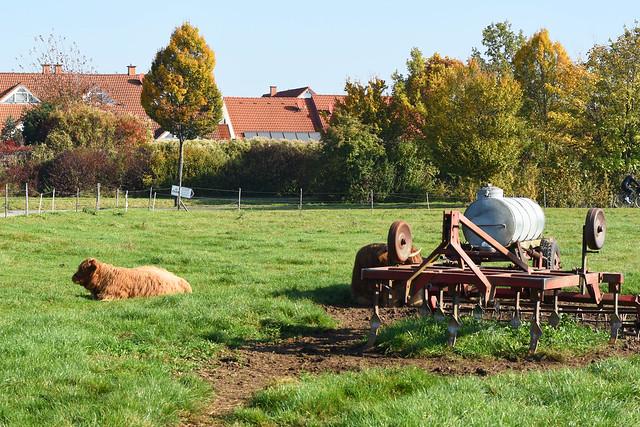 Schottische Hochlandrinder in Mannheim-Seckenheim ... Foto: Brigitte Stolle 2017