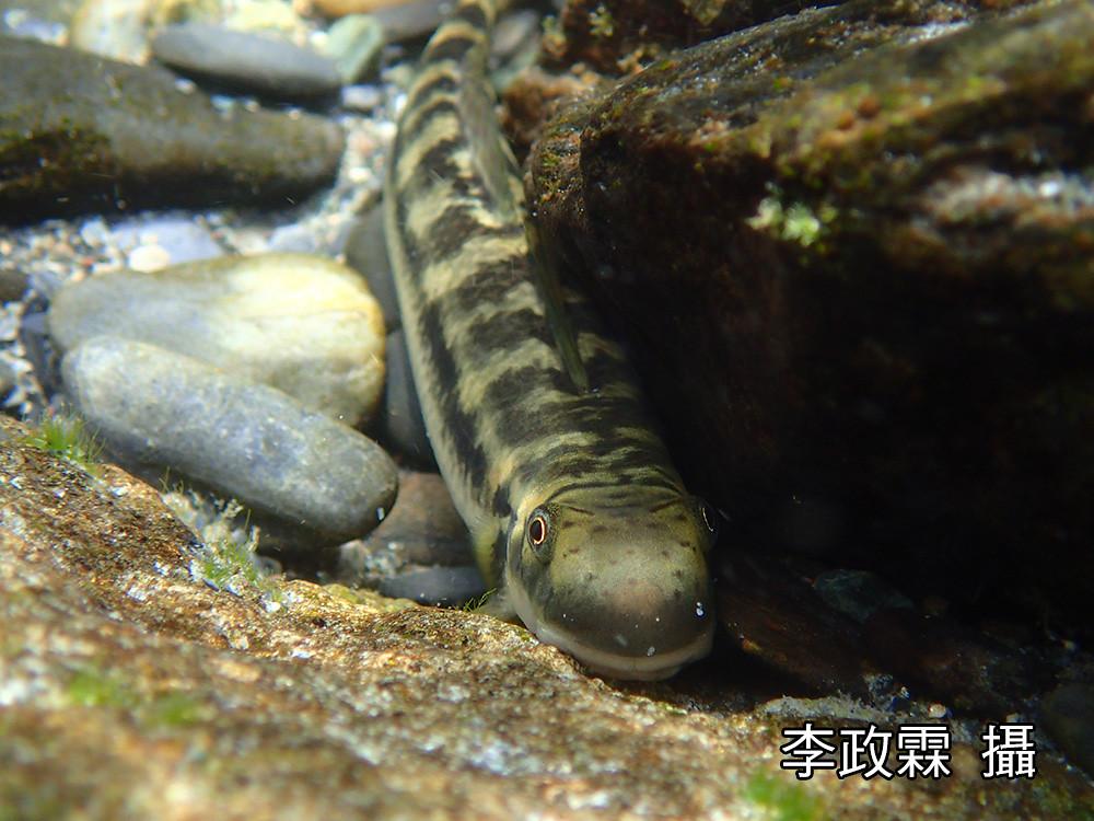 6_成熟的日本禿頭鯊體型可以超過15公分。(攝影:李政霖)