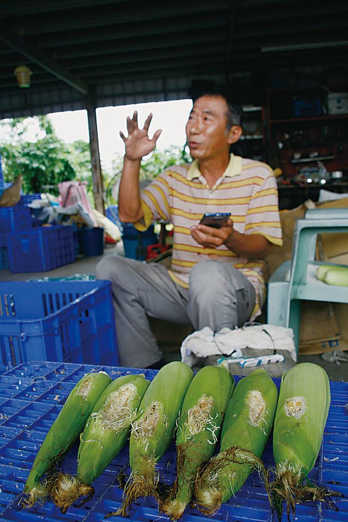 張肇基整理撿回來被蟲咬的玉米,一邊說著海棠颱風後引進西南氣流,對農作的影響。