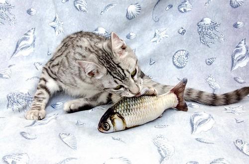 Anubis, bellezón de gato cruce con Mau Egipcio muy activo, nacido en Mayo´17, en adopción. Valencia. ADOPTADO. 38061620542_7859818dfc