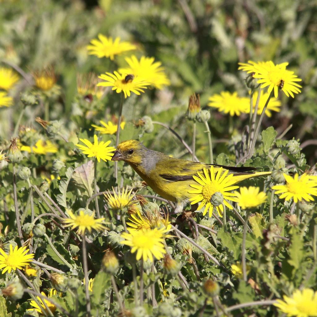 Cape canary in the yellow flowers derek keats flickr cape canary in the yellow flowers by derek keats mightylinksfo