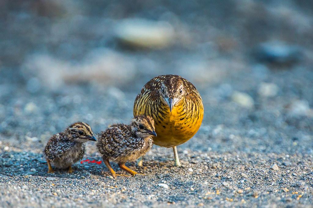 棕三趾鶉。圖片來源:An-sheng Wu(CC BY-NC-ND 2.0)。