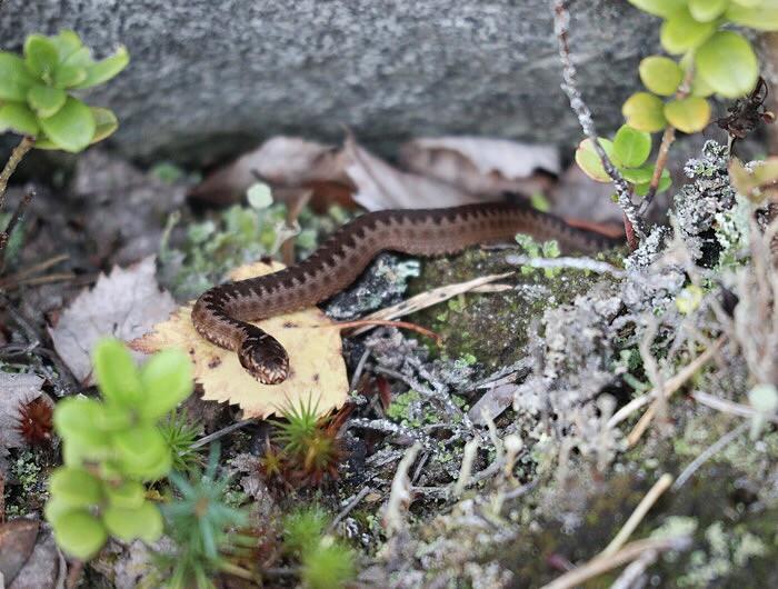 Pieni käärme