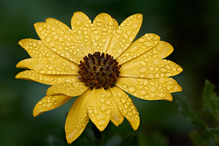 Damp osteospermum #2a | by Lord V