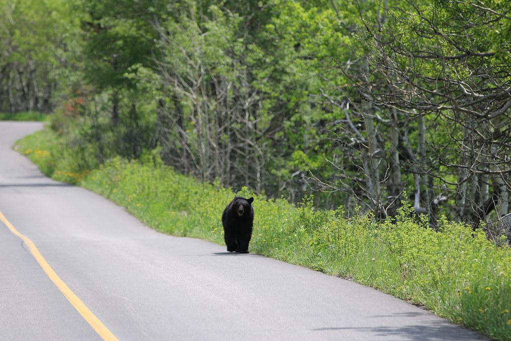 出現在道路旁的黑熊。圖片來源:davebloggs007(CC BY 2.0)