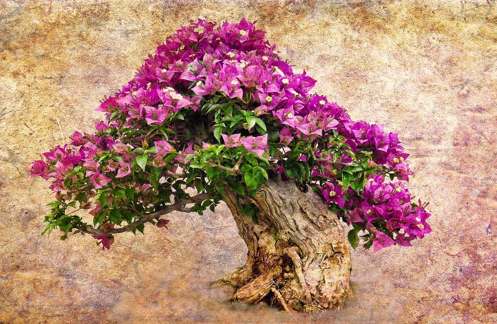 Bougainvillea bonsai textured composite of a for Bougainvillea bonsai prezzo