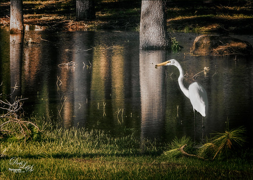 Image of a white egret eating in calm water from Hurricane Irma
