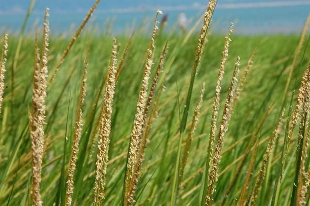 「灘地殺手」互花米草根系抓地力強、生長迅速,會使灘地固化危及生態,圖片來源:新北市農業局。