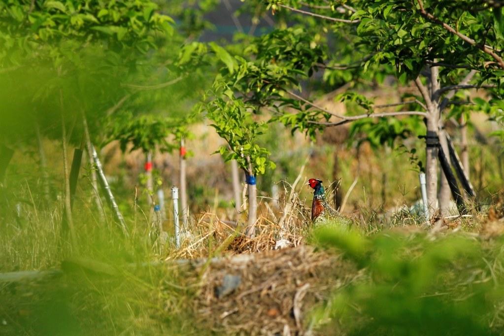 果園中的公環頸雉。圖片來源:劉鎮。