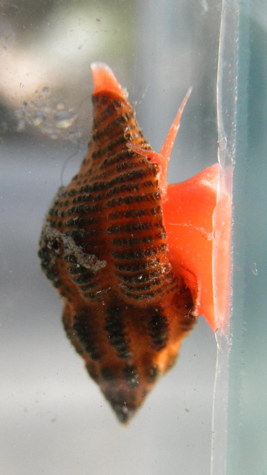 Right side view of Ocinebrina aciculata