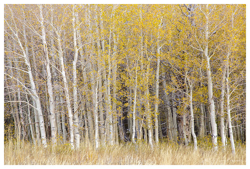 aspens in quiet light | by Sierra Impressions