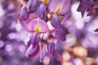 Spring wisteria blossoming. | by boxyinfinity