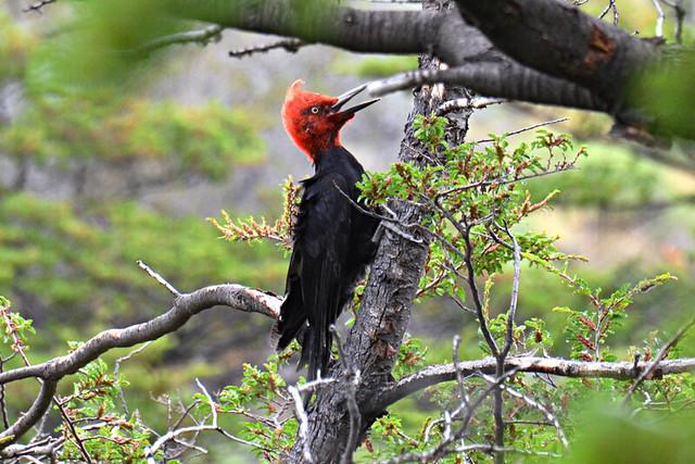 Magellanic woodpecker, Parque Patagonia, Chile