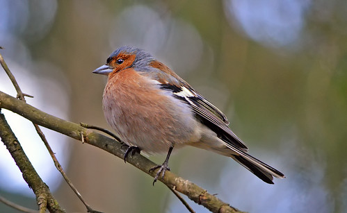 Common chaffinch (male). | by L.Lahtinen (nature photography)