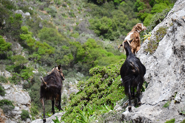 Walking, goats, Sirikari Gorge , Crete