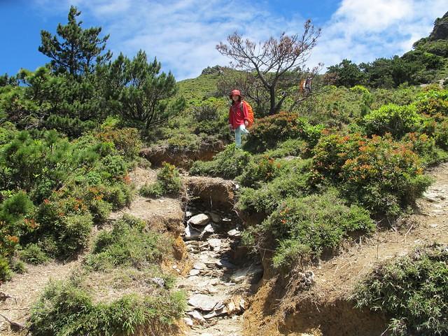 104年7月 嘉明湖步道已有多處因過度使用 形成很深的沖蝕溝。攝影:陳理德