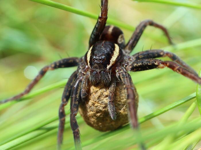 munakoteloa kantava hämähäkki