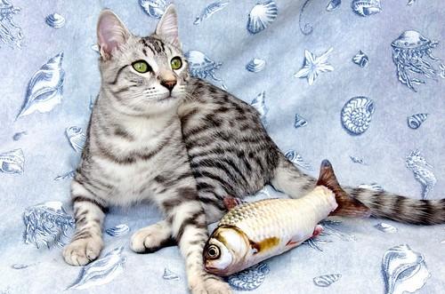 Anubis, bellezón de gato cruce con Mau Egipcio muy activo, nacido en Mayo´17, en adopción. Valencia. ADOPTADO. 38061623872_ec77d2b17f