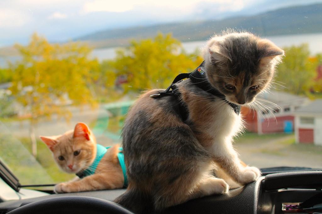 Kissojen matkapahoinvointi | Kaksi kissaa valjaissa autossa.