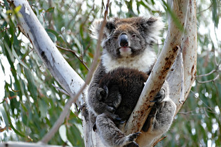 Koala on a tree | by The Globetrotting photographer
